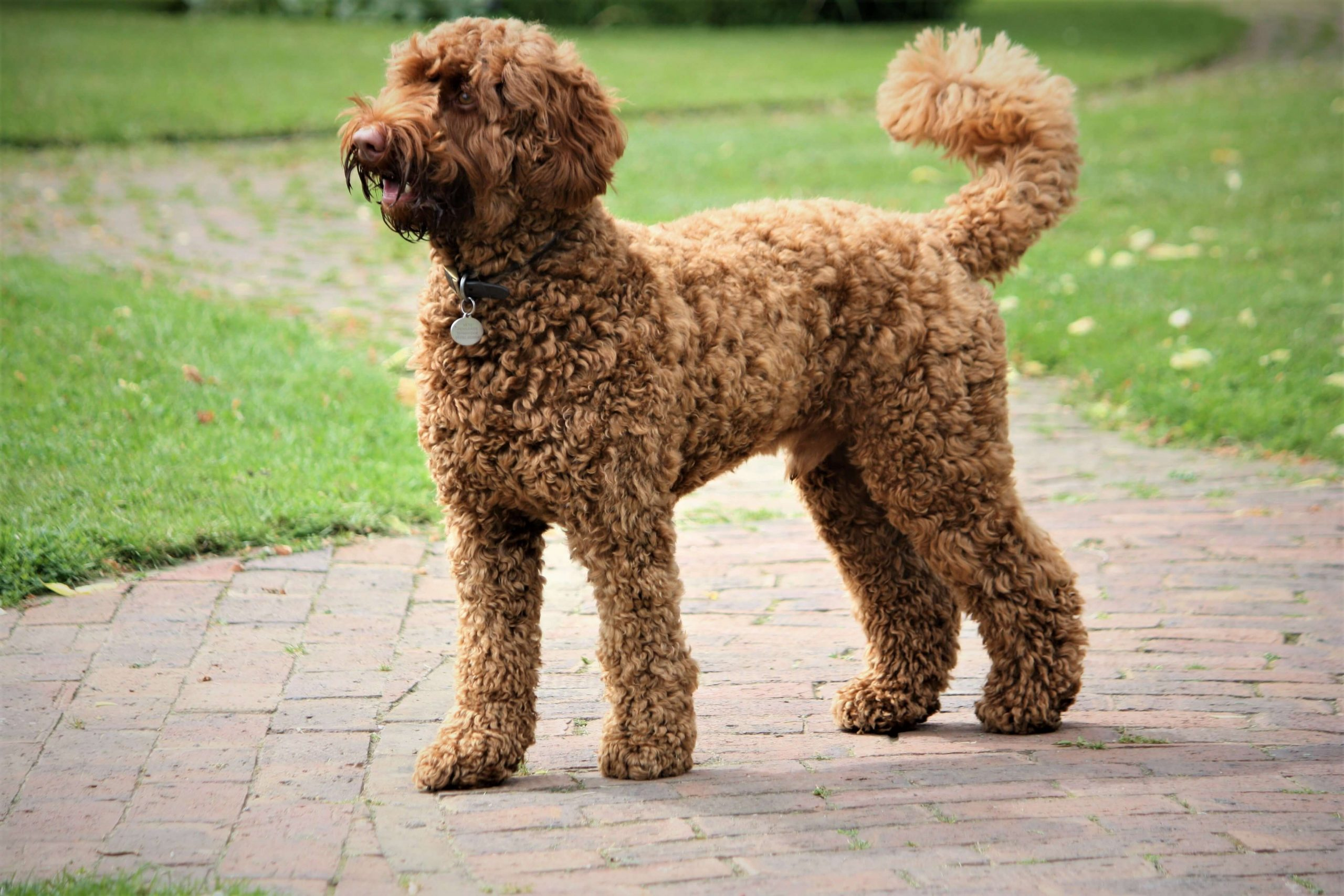 Labradoodle Dog Grooming in Houston