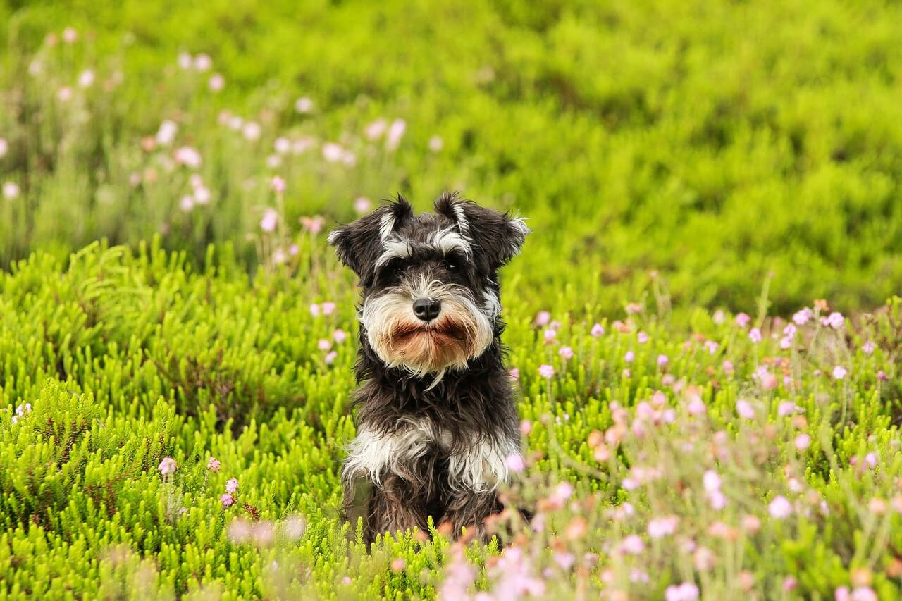 What You Should Know About Schnauzers