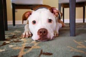 Symptoms of Coronavirus in Pets