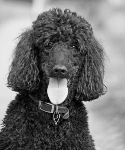 Poodle Care and Dog Grooming Houston