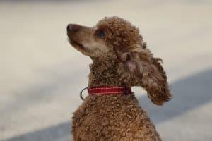 poodle's curls